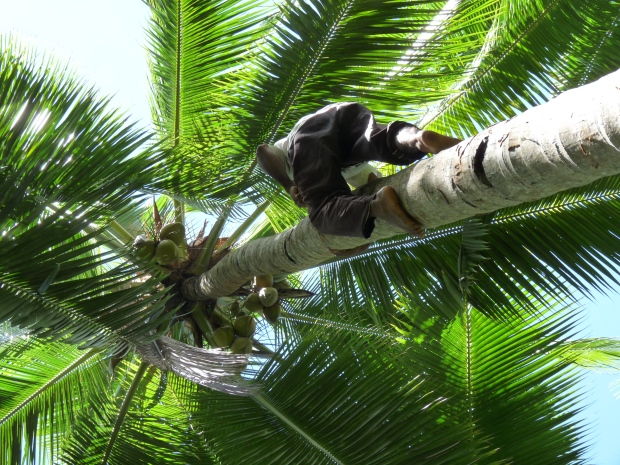 We wanted to get coconuts to drink but neither me or Billy could climb the coconut tree. Then Bapak Hong appeared, climbed the tree and even opened the coconuts for us with a machete. Bapak Hong is blind!