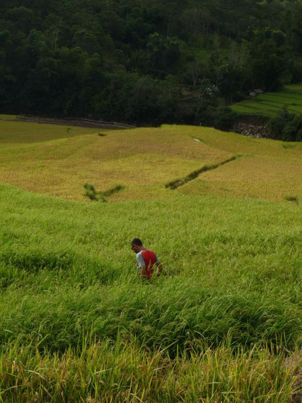 A bule in a rice field