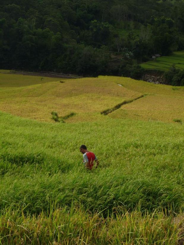 A bule in a rice field