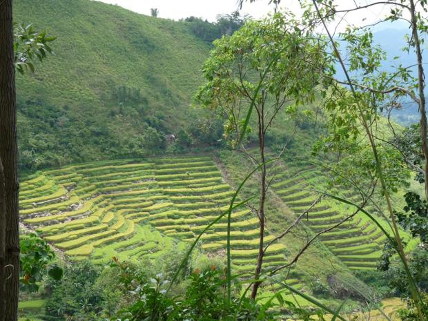 more rice fields