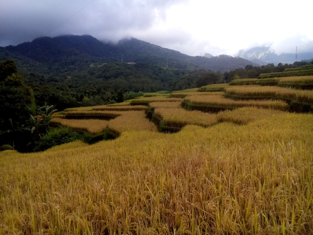 some rice fields