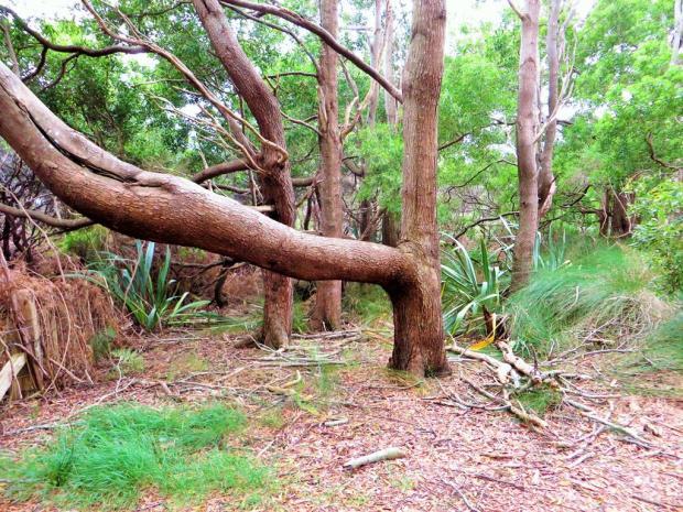 kai iwi tree