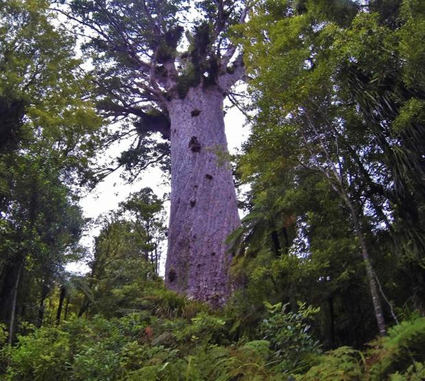 Waipoa forest is a tourist attraction because it is a protected large area of native bush. When the westerners came they cut down most of the forest in NZ to do farming or plant pine trees for timber. Waipoa has some pretty old and big native kauri trees.